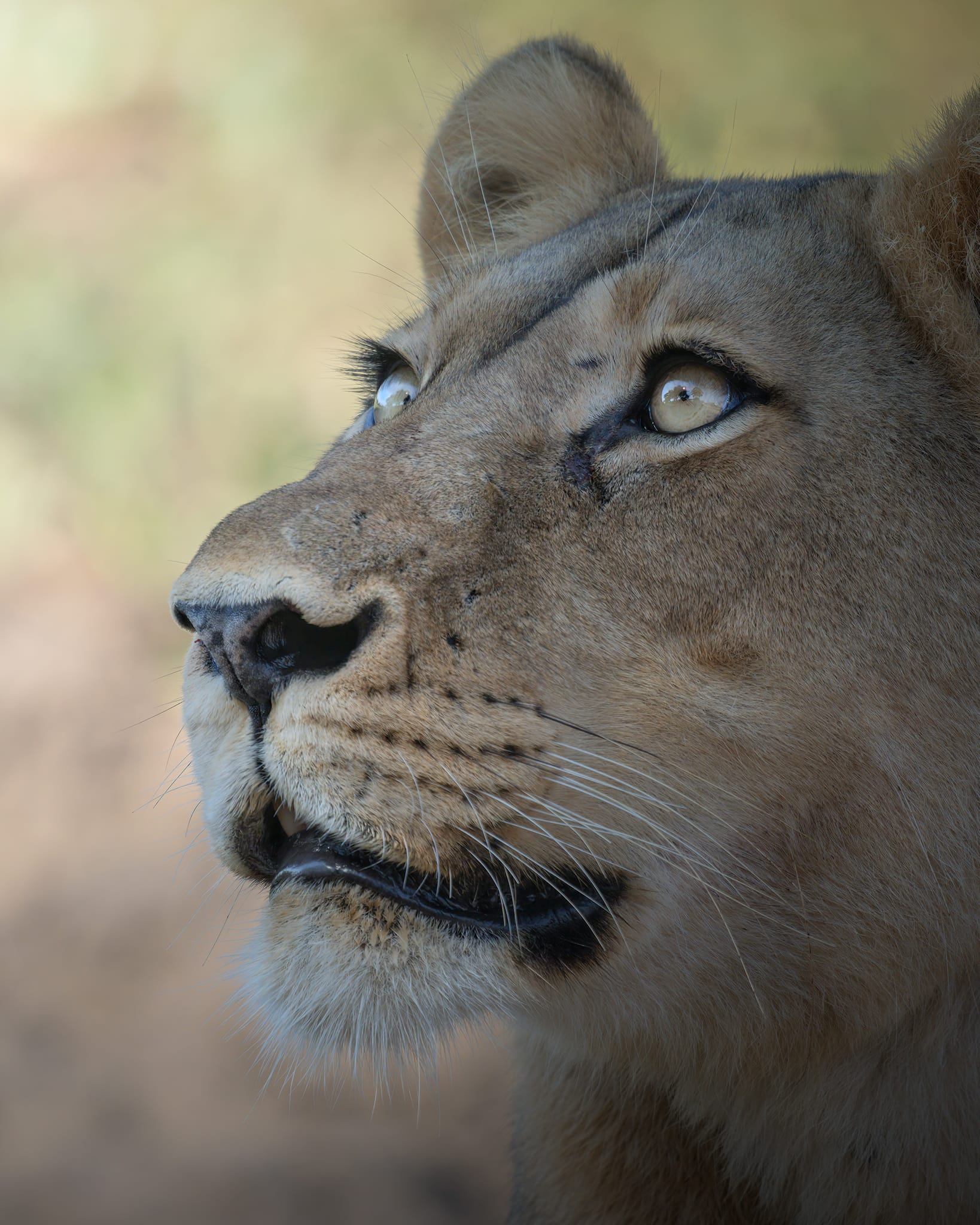 Lion in the South Luangwa (1)